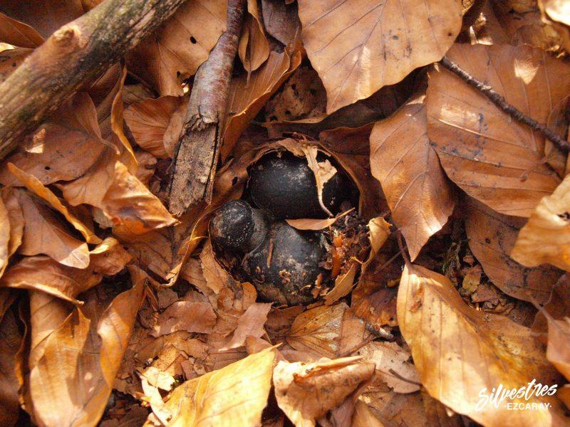 marzuelos_seta_de_marzo_ezcaray_hábitats_guía_micológico_silvestres
