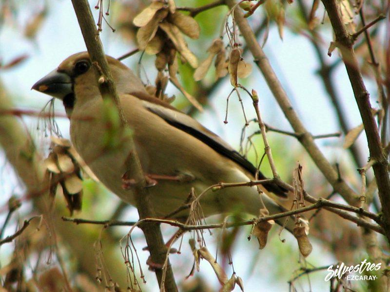 avifauna_la_rioja_citas_ornitológicas_birding_sierra_demanda_picogordo_naturaleza