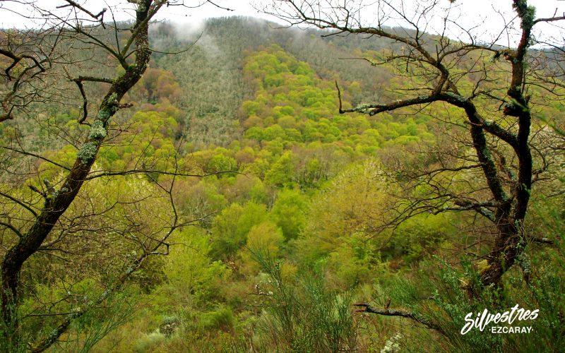 bosques_barranco_artaso_tejeda_superficie_forestal_la_rioja_hayedos_ojacastro