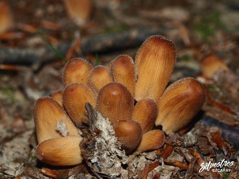imagenes_naturaleza_la_rioja_sierra_demanda_bosques_setas_coprinus_micaceus