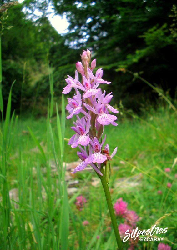 orquídeas_la_rioja_dactylorhiza_maculata_habitats_naturales_guia_botánico_flores_sierra_demanda