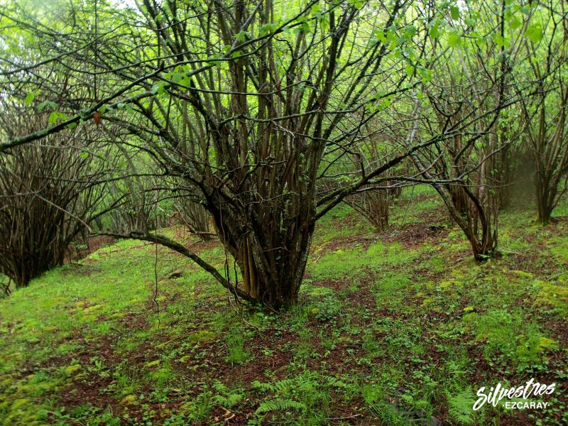 bosques_avellanos_ezcaray_rutas_micológicas_empresa
