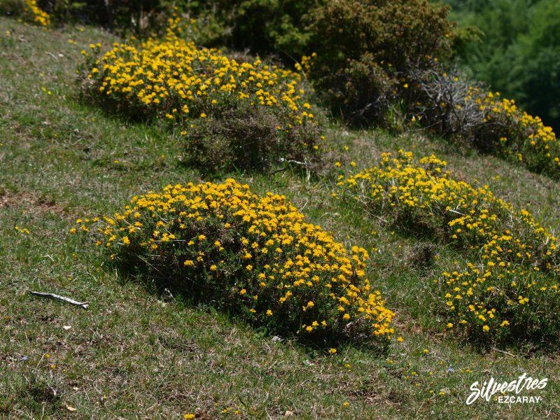 flores_silvestres_ezcaray_genista_hábitats_micológicos