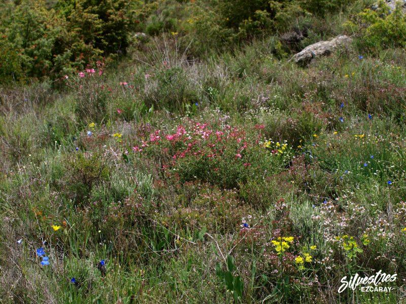 flora_habitats_tomillares_lumbier_navarra_excursiones_botánicas_itinerarios