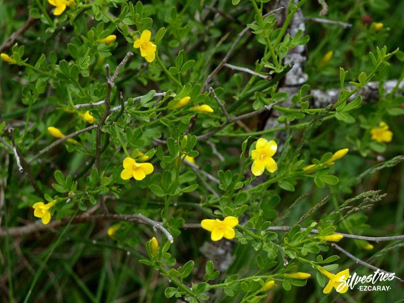 flora_navarra_vegetación_foz_lumbier_jazminum_fruticans_jazmin_guia_botánico_excursiones