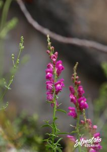 flora_vegetación_navarra_dragoncillos_foz_lumbier_excursiones_guia_botánicas