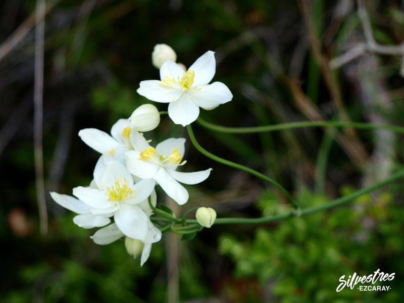 flores_silvestres_foz_lumbier
