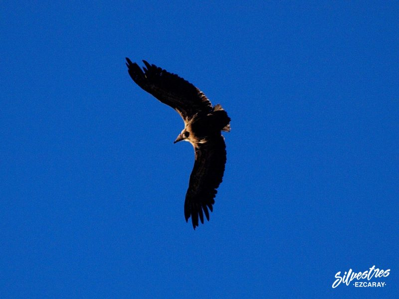 foz_lumbier_colonia_buietre_leonado_birdwatching_navarra_guia_ornitologico_viaje