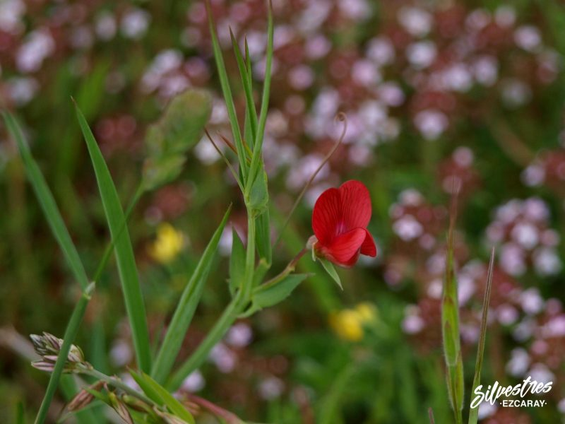 guia_flores_silvestres_navarra_foz_lumbier_libros_lathyrus_cicera_almorta_galgana