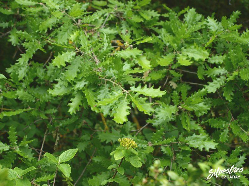 vegetación_arboles_navarra_foz_lumbier_robles_quercus_humilis