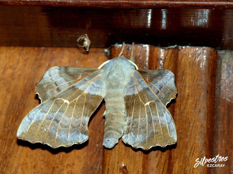 entomología_la_rioja_lepidopteros_laothoe_populi_citas_alto_oja_mariposas_nocturnas