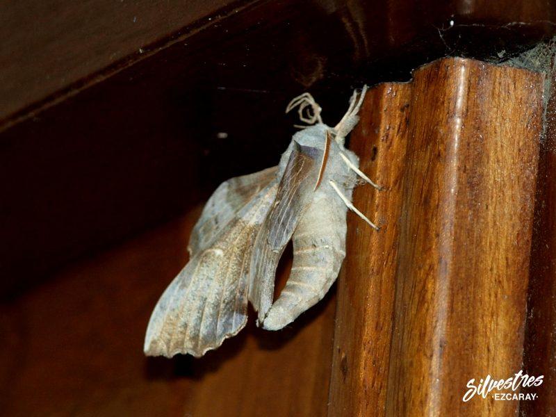 imagenes_laothoe_populi_esfinge_del_chopo_lepidopteros_sierra_demanda_red_natura