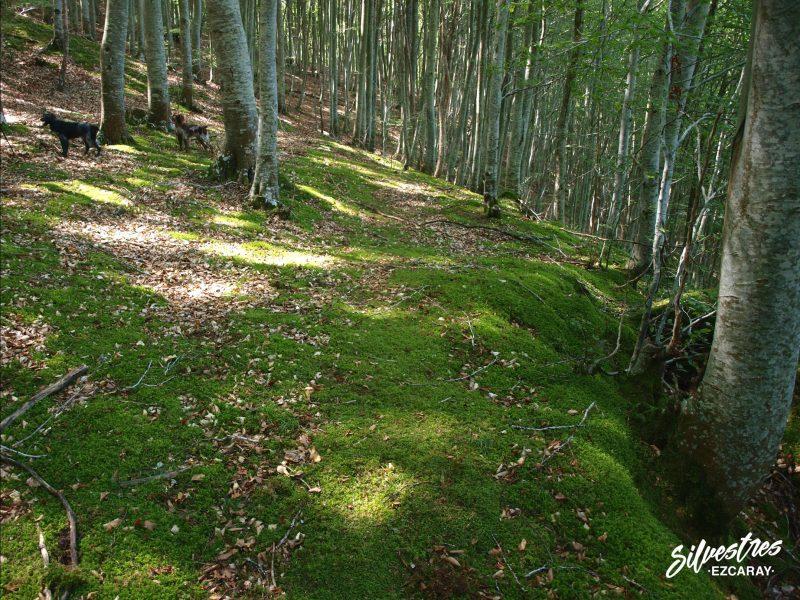 hábitats_micológicos_sierra_demanda_la_rioja_alto_oja_setas_hongos_albatrellus