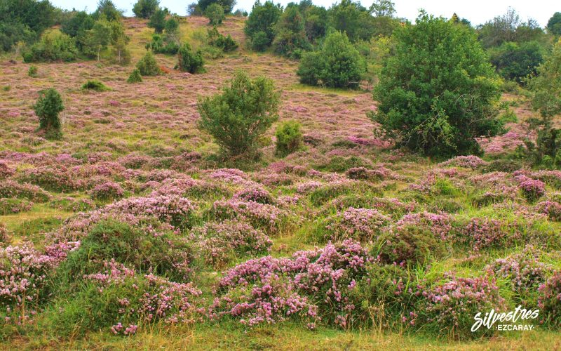 escobas de brezos_paisajes_dehesa_valgañón