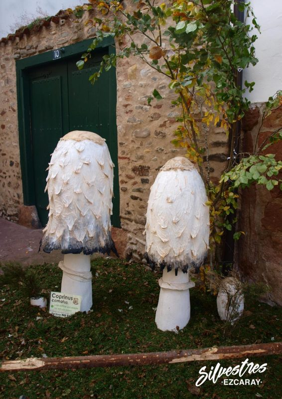 coprinus_comatus_barbuda_setas_ezcaray_exposición_micológica_turismo_la_rioja