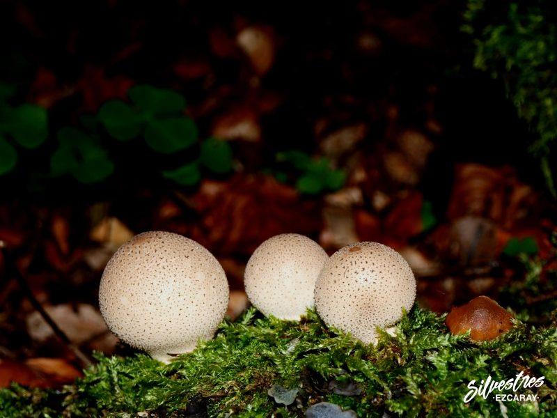 setas_bosques_alto_oja_lycoperdon_pyriformis_ezcaray_hongos_silvestres_guia_micológico