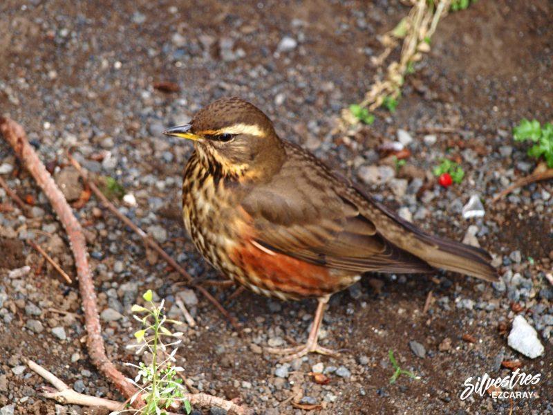 avifauna_aves_islandia_zorzal_alirrojo_turdus_iliacus_iceland_birdwatching