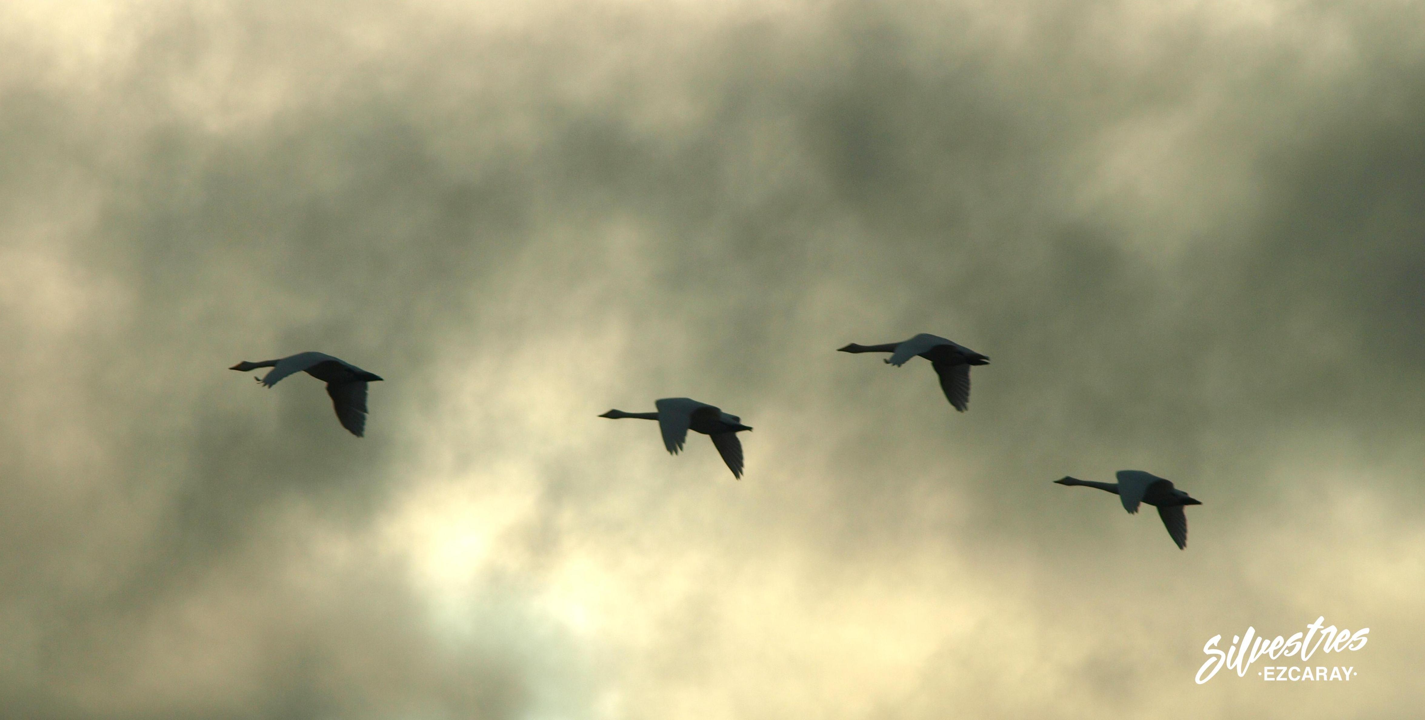 cisne_cantor_islandia_observación_aves_birdwatching_iceland_cygnus