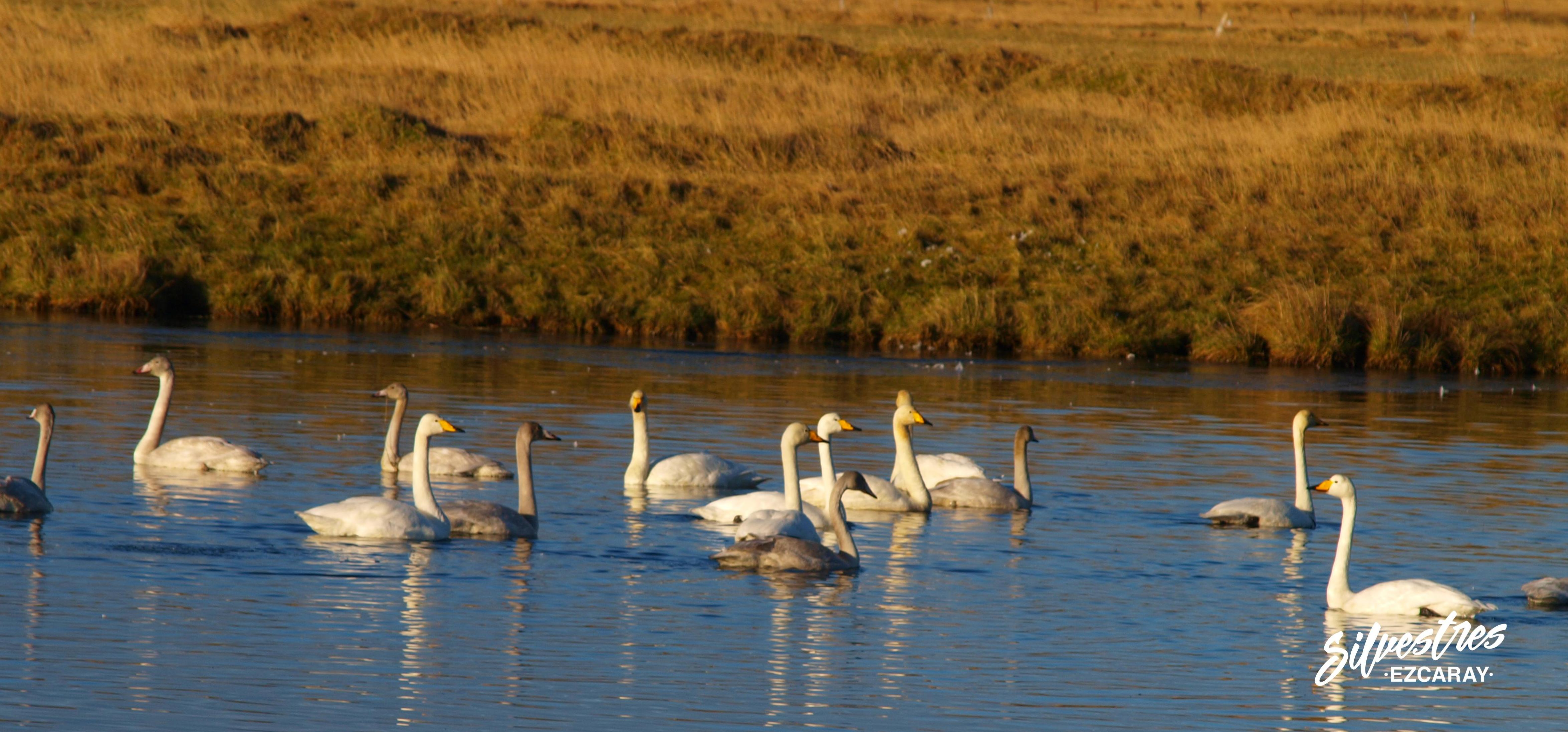 cisner_cantores_en_islandia_aves_pájaros_turismo_ornitilogico