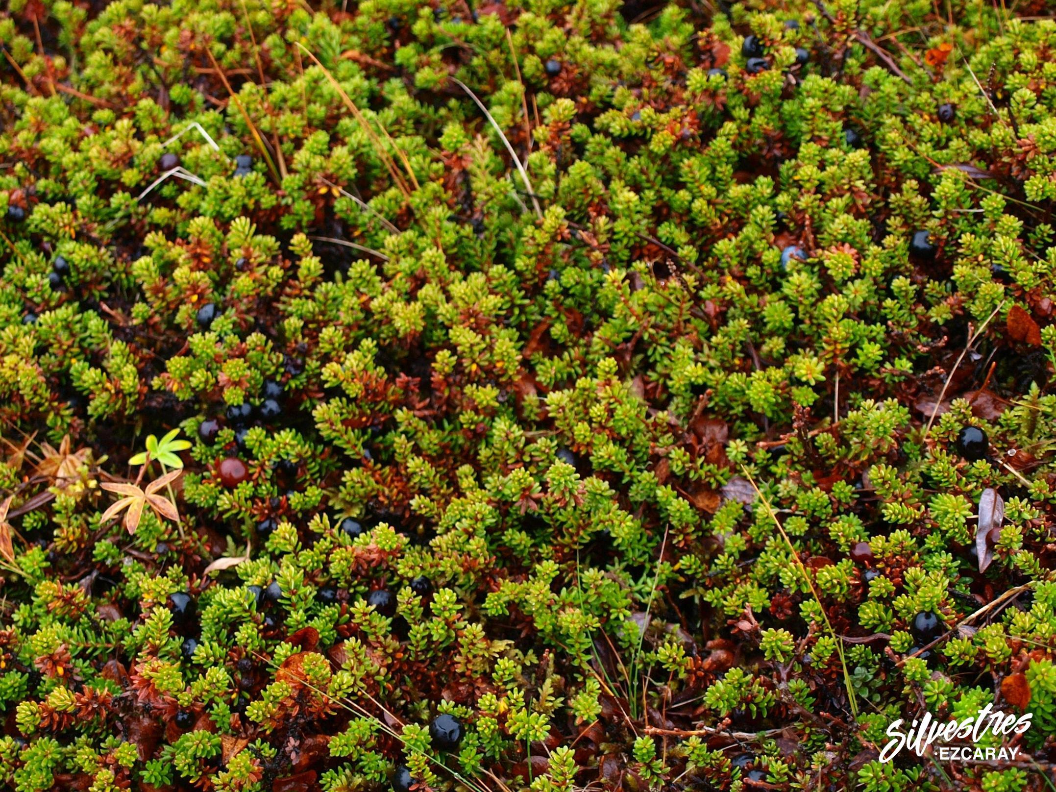 flora_especies_plantas_islandia_tundra_empetrum_nigrum_camarina