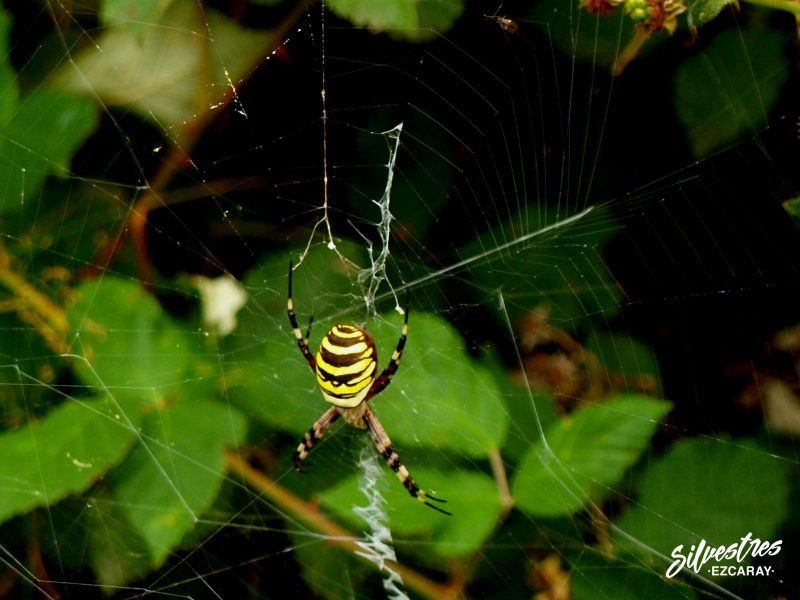 arañas_forestales_araña_tigre_estabilimento_tela_fauna_insectos_alto_oja_la_rioja