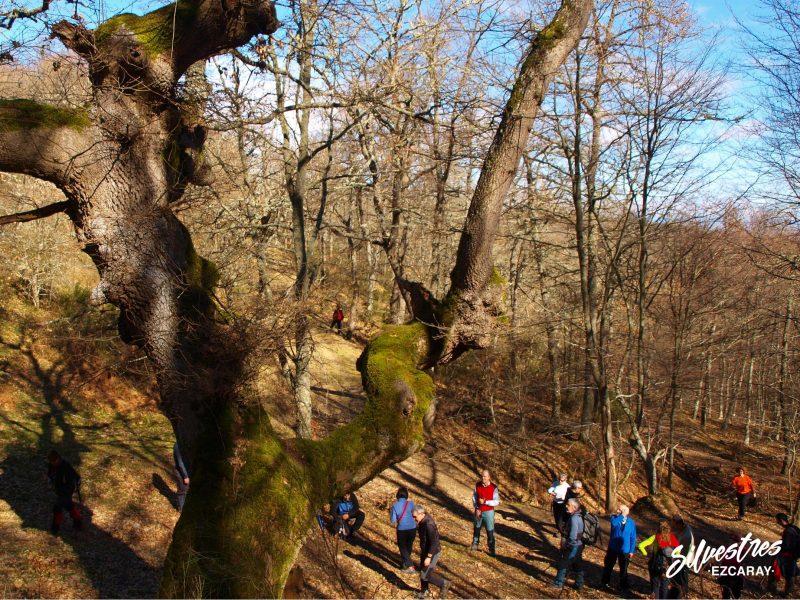 arboles_singulares_la_rioja_senderismo_rutas_ojacastro_bosques_valle_oja