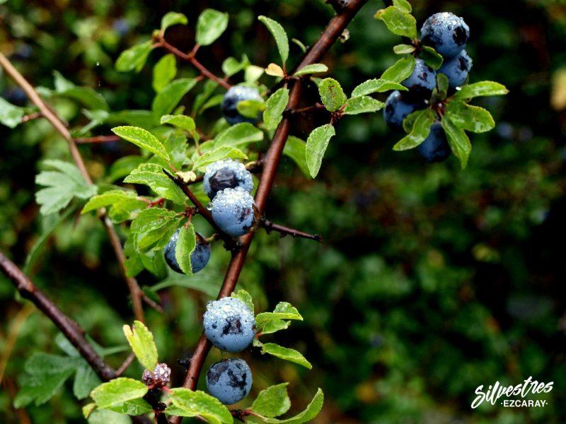 endrinas_pacharán_frutos_bosques_ezcaray_prunus_avium_endrinos_apicultura