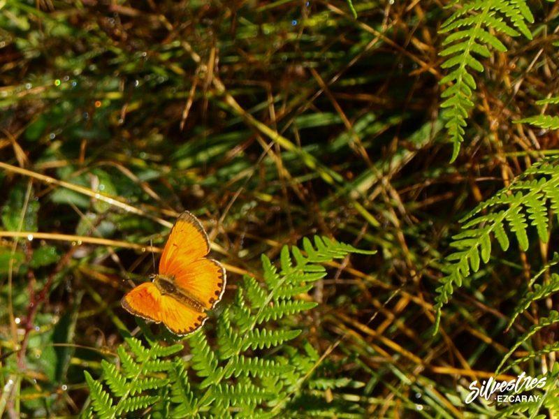 lepidopteros_de_la_rioja_sierra_demanda_lycaena_virgaureae_ecoturismo_ezcaray