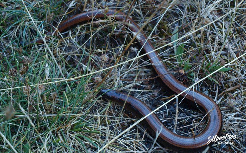 lucion_reptiles_la_rioja_fauna_red_natura_medio_natural_anguis_fragilis_paseos_ezcaray