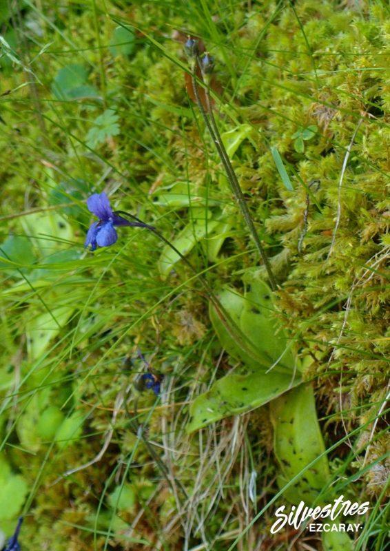 plantas_carnivoras_flora_alto_oja_sierra_demanda_habitat_turberas_montaña_grasilla_pinguicola