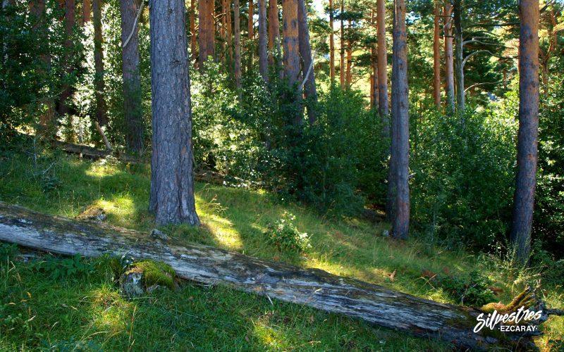 regeneración_forestal_acebos_pino_silvestre_sotobosque_ilex_aquifolium_zaldierna_calvajero