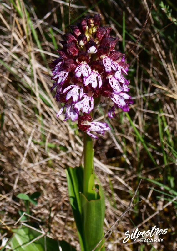 lady_orchid_orquidea_dama_orchis_purpurea_