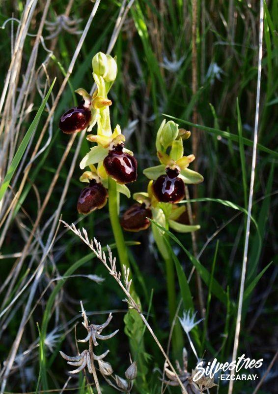 ophrys_passionis_orquídeas_sistema_ibérico_sierra_de_la_demanda