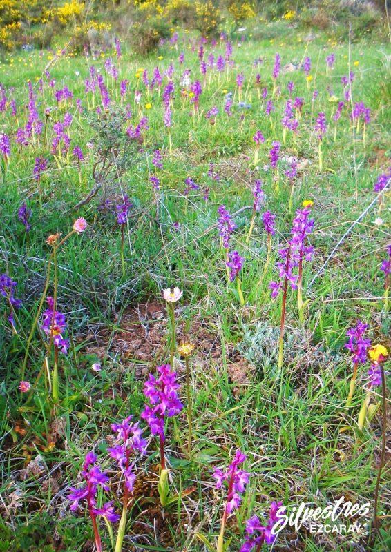 population_orchid_mascula_habitats_la_rioja_spain