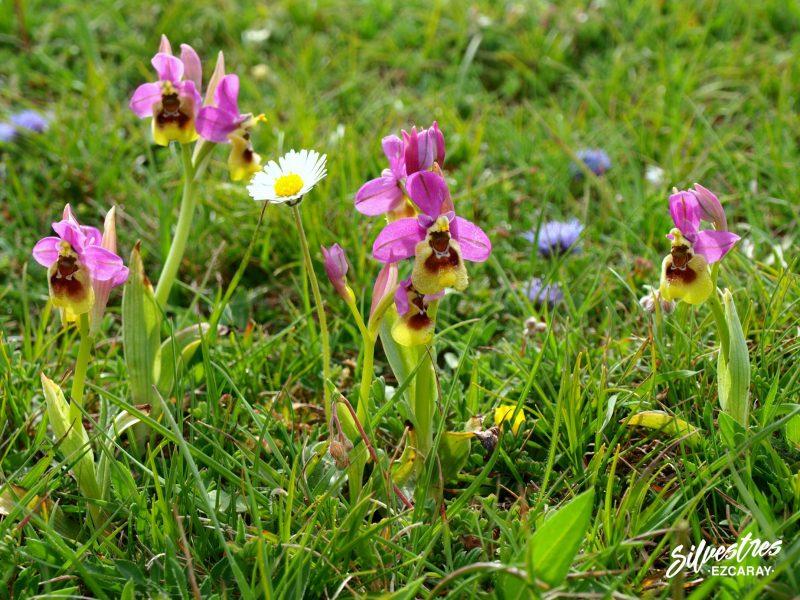 rutas_naturaleza_valgañón_senderismo_medio_natural_flora_orquídeas
