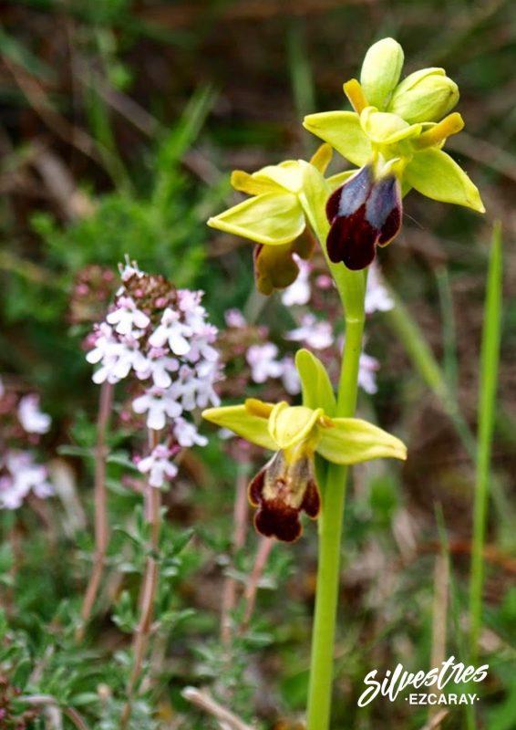 wild_orchids_spain_professional_guide_tour_photo_ezcaray