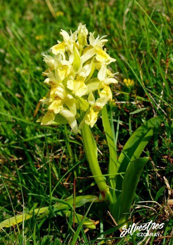 orchidées_la_rioja_guide_orchids_path_cheklist_ezcaray_la_rioja