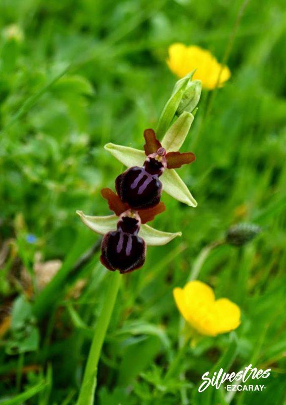 habitats_orchids_red_natura_la_rioja_medio_natural_ezcaray