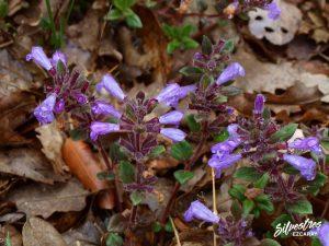 flora_la_rioja_monte_toloño_sierra_cantabria_rutas_botánicas_acinos_alpinus