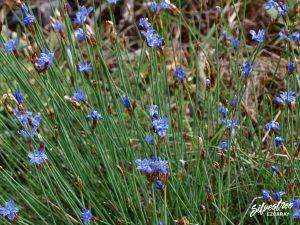 flora_la_rioja_monte_toloño_sierra_cantabria_rutas_botánicas_aphyllanthes_monspeliensis