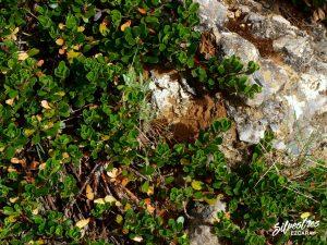 flora_la_rioja_monte_toloño_sierra_cantabria_rutas_botánicas_artostaphylus_uva