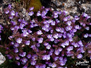 flora_la_rioja_monte_toloño_sierra_cantabria_rutas_botánicas_chaenorhinum_origanifolium