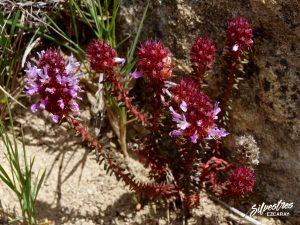 flora_la_rioja_monte_toloño_sierra_cantabria_rutas_botánicas_coris_monspeliensis