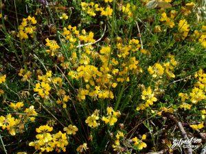 flora_la_rioja_monte_toloño_sierra_cantabria_rutas_botánicas_coronilla_minima