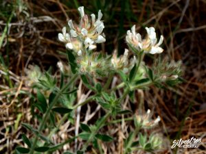 flora_la_rioja_monte_toloño_sierra_cantabria_rutas_botánicas_dorycnium_hirsutum