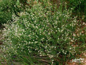 flora_la_rioja_monte_toloño_sierra_cantabria_rutas_botánicas_dorycnium_pentaphyllum