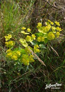flora_la_rioja_monte_toloño_sierra_cantabria_rutas_botánicas_euphorbia_serrata