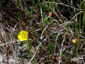flora_la_rioja_monte_toloño_sierra_cantabria_rutas_botánicas_fumana_ericoides