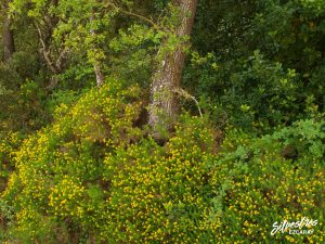 flora_la_rioja_monte_toloño_sierra_cantabria_rutas_botánicas_genista_hispanica