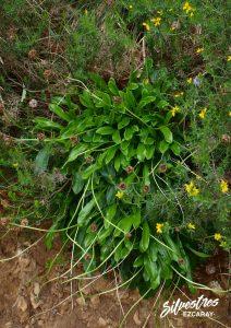 flora_la_rioja_monte_toloño_sierra_cantabria_rutas_botánicas_globularia_nudicaulis